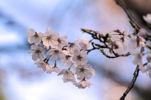 Sakuraweb